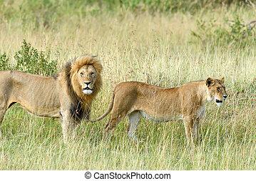 kenia, parco nazionale, leone, chiudere