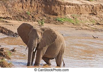kenia, słoń, banki, nyiro, rzeka, uaso, afrykanin