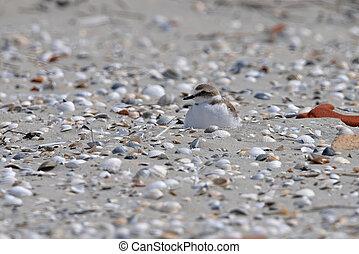 Kentish Plover nesting on an uninhabited Island called Rottumeroog in the Netherlands.
