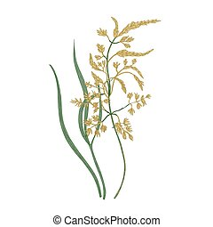 Kentucky bluegrass flowers isolated on white background. Natural drawing of wild perennial flowering pasture plant or wildflower used for making lawns. Colorful floral hand drawn vector illustration
