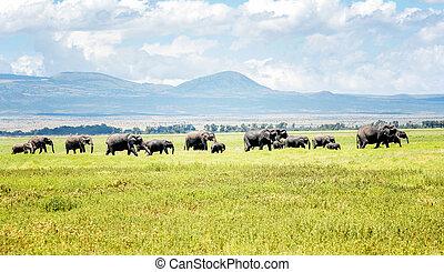 kenya, Afrika, Elefanter