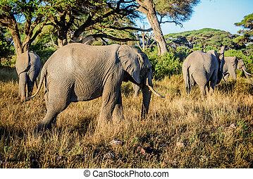 kenya, afrique, éléphants
