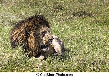 kenya, masai, lion, mara, portrait