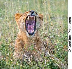 kenya, masai mara, lionne