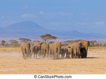kenya, parc, amboseli, national, éléphants
