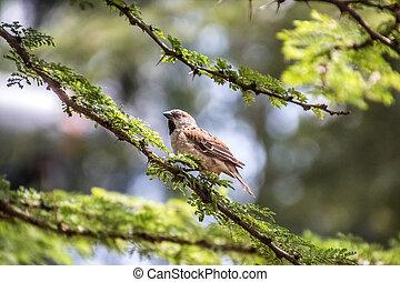 kenya sparrow sitting on a branch
