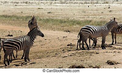 kenya, zebra