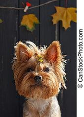 kerítés, zöld, sárga, yorkshire, ősz, fekete, terrier