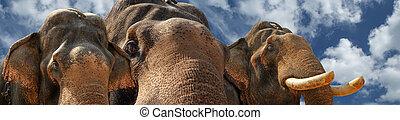 kerala, inde, figure, indien, éléphant asiatique, ou, sud