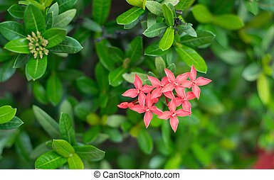 Ixora coccinea is a species of flowering plant in the Rubiaceae family
