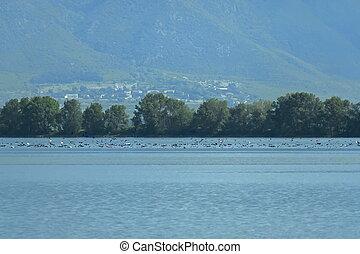 Kerkini lake birds life - pelican, heron, seagull,...