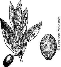 Kermes with olive, vintage engraving.