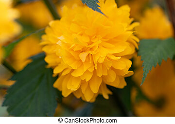 Kerria beautiful shrub with yellow flowers in spring