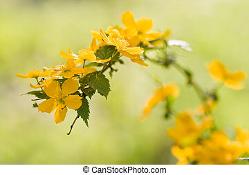 Kerria in spring