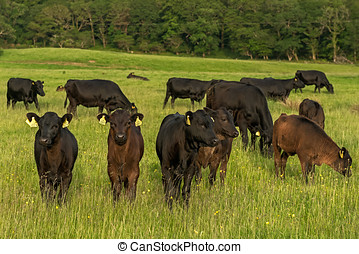 Kerry cattle grazing on a green meadow at sunset