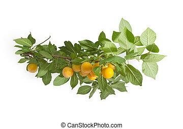kers, pruim, bladeren, tak, vruchten