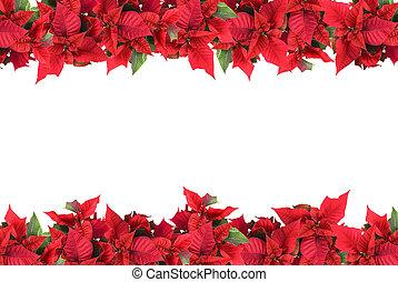 kerstmis, frame, van, poinsettias, vrijstaand, op wit
