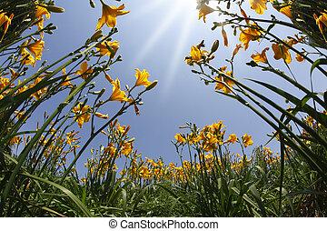 kert, sárga, és, narancs, liliomok, alatt, a, eredet