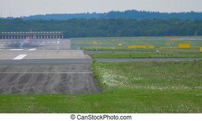Kestrel bird near runway and landing aircraft at background.