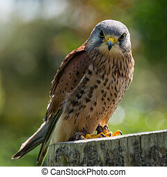 Kestrel, bird of prey - Kestrel, falco tinnunculus.