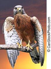 Kestrel Bird of Prey - Rock kestrel bird of prey perched on...