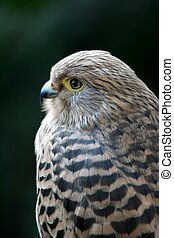 Kestrel Bird of Prey