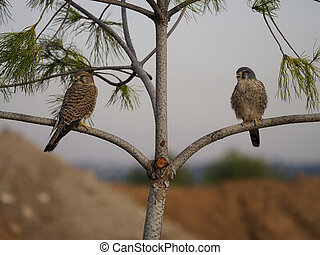 Kestrel, Falco tinnunculus, male and female on branch, Spain, January 2020