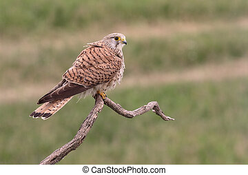 Kestrel, Falco tinnunculus, single female on branch, Hungary, May 2016