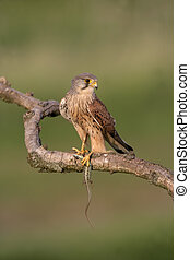 Kestrel, Falco tinnunculus, single male on branch with lizard, Hungary