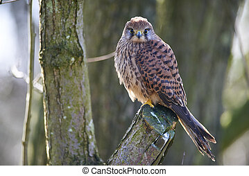 Kestrel perched in a tree