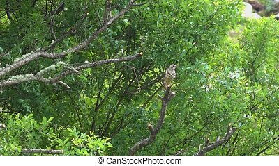 Kestrel waiting on branch to catch worms on a lawn in County...