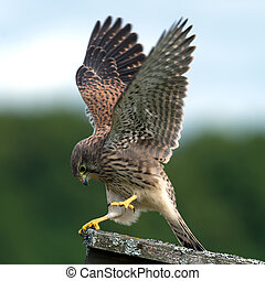 The beautiful juvenile kestrel (Falco tinnunculus) shows how she captured the mouse, in Uppland, Sweden
