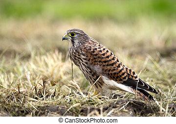 Kestrel's, the juvenile, profile - The juvenile kestrel...