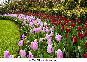 keukenhof, jardines, natural, parque, ondas, de, rojo, y, rosa, tulipanes