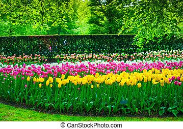 keukenhof, pays-bas, jardin, arbres., tulipe, fleurs