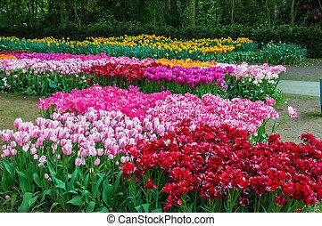 keukenhof, tulipes, lisse, parc, coloré, hollande