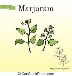 keukenkruiden, marjolein, -, aromatisch, verzameling