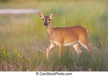 Key Deer on grass and limestone rock base