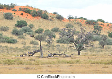 Kgalagadi tree and dune landscape