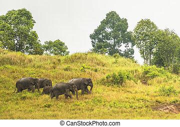 Thailand elephant - Khao Yai National Park, Thailand...