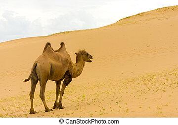 khongor, ambulante, camello, dunas, arriba, arena, bactrian, els