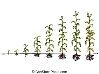 kialakulás, kukorica, diagram., növekedés, előad