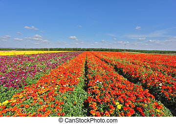 Kibbutz fields with bright Ranunculus - Kibbutz fields with...