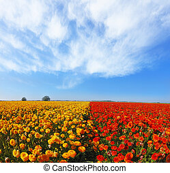Kibbutz huge flower fields. Blooming red and yellow...
