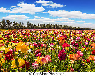 Kibbutz in the Israel - Field of flowering garden...