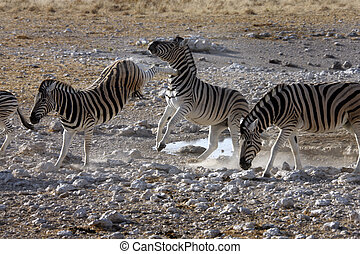 Kicking Zebra near a waterhole