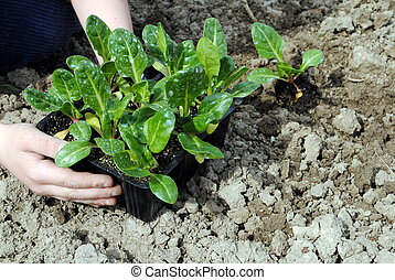 kid hands with seedlings in the garden