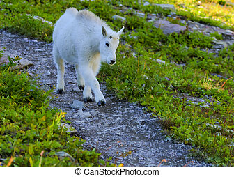 Kid Mountain Goat in Glacier National Park - Kid Mountain...