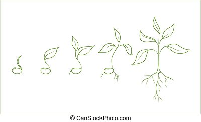 Kidney bean plant growth phases. Evolution from seed to...