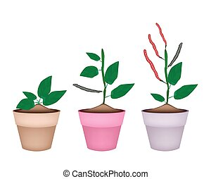 Kidney Bean Plant in Ceramic Flower Pots